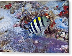 Hawaii, Marine Life Acrylic Print by Dave Fleetham - Printscapes