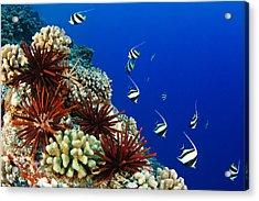 Hawaiian Reef Scene Acrylic Print by Dave Fleetham - Printscapes
