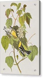 Hemlock Warbler Acrylic Print by John James Audubon