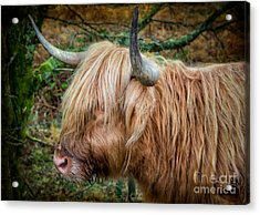 Highland Cow Acrylic Print by Adrian Evans