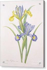Iris Xiphium Acrylic Print by Pierre Joseph Redoute