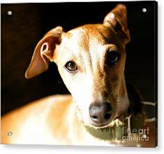 Italian Greyhound Portrait Acrylic Print by Angela Rath