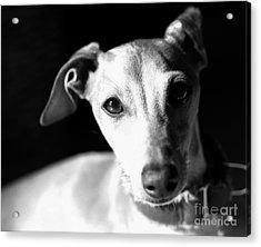 Italian Greyhound Portrait In Black And White Acrylic Print by Angela Rath