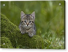 Kitten On A Mossy Tree Acrylic Print by Jean-Louis Klein & Marie-Luce Hubert