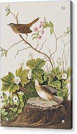 Lincoln Finch Acrylic Print by John James Audubon