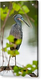 Little Blue Heron Acrylic Print by Christopher Holmes