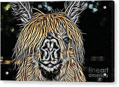 Llama Acrylic Print by Marvin Blaine