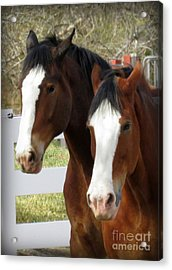 Magnificant Horses - The Clydesdales -16 Acrylic Print by Diane M Dittus