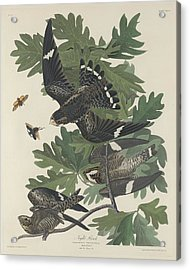 Night Hawk Acrylic Print by John James Audubon