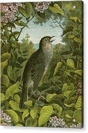 Nightingale Acrylic Print by English School