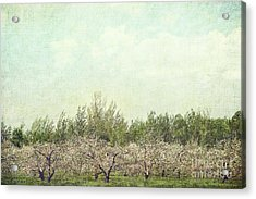 Orchard Of Apple Blossoming Tees Acrylic Print by Sandra Cunningham
