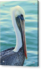 Pelican Profile Acrylic Print by Shoal Hollingsworth