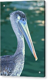 Pelican Acrylic Print by Shoal Hollingsworth