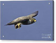 Peregrine Falcon  Acrylic Print by Michael  Nau