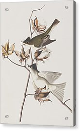 Pewit Flycatcher Acrylic Print by John James Audubon