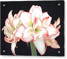 Pink And White Amaryllis Group Acrylic Print by Frederic Kohli