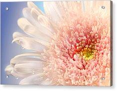 Pink Daisy  Acrylic Print by Sandra Cunningham
