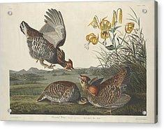 Pinnated Grouse Acrylic Print by John James Audubon