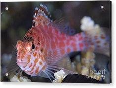 Pixy Hawkfish, Kimbe Bay, Papua New Acrylic Print by Steve Jones