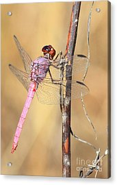 Red Dragonfly Portrait Acrylic Print by Carol Groenen