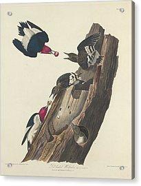 Red-headed Woodpecker Acrylic Print by John James Audubon