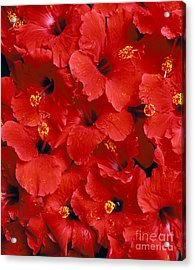 Red Hibiscus Acrylic Print by Tomas del Amo - Printscapes