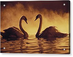 Romantic African Swans Acrylic Print by Brent Black - Printscapes