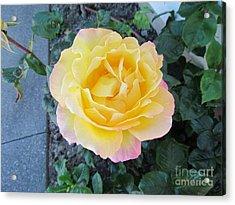 Rose Acrylic Print by Joyce Woodhouse
