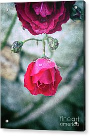 Roses Acrylic Print by Silvia Ganora