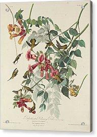 Ruby-throated Hummingbird Acrylic Print by John James Audubon
