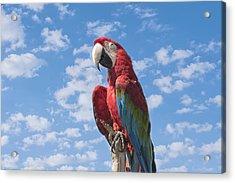 Scarlet Macaw Acrylic Print by Kim Hojnacki