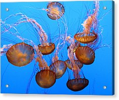 Sea Nettles Ballet 1 Acrylic Print by Diane Wood