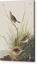 Sharp Tailed Finch Acrylic Print by John James Audubon