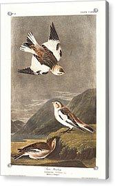 Snow Bunting Acrylic Print by John James Audubon