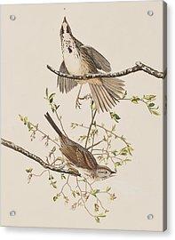 Song Sparrow Acrylic Print by John James Audubon