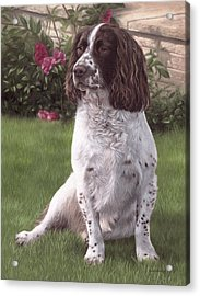 Springer Spaniel Painting Acrylic Print by Rachel Stribbling
