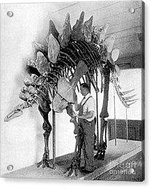 Stegosaurus Acrylic Print by Science Source