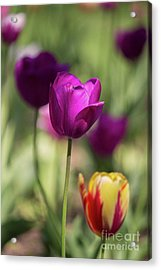 Study Of Tulips Acrylic Print by Doc Braham