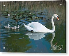 Swan With Cygnets Acrylic Print by Andrew Michael