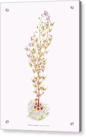 Tall Sundew Acrylic Print by Scott Bennett
