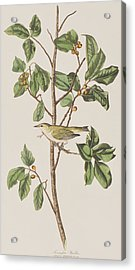 Tennessee Warbler Acrylic Print by John James Audubon