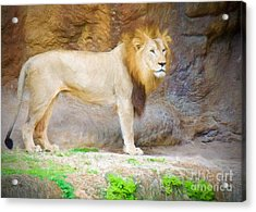 The African Lion Acrylic Print by Judy Kay