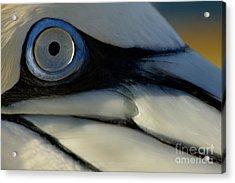 The Eye Of A Northern Gannet Acrylic Print by Sami Sarkis