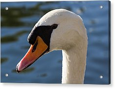 The Watchful Swan Acrylic Print by David Pyatt