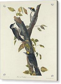 Three-toed Woodpecker Acrylic Print by John James Audubon