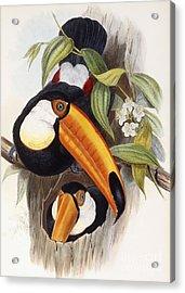 Toucan Acrylic Print by John Gould