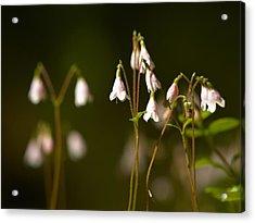Twinflower Acrylic Print by Jouko Lehto