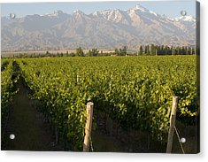 Vineyards In The Mendoza Valley Acrylic Print by Michael S. Lewis