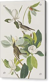 Warbling Flycatcher Acrylic Print by John James Audubon