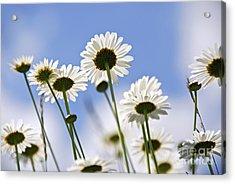 White Daisies Acrylic Print by Elena Elisseeva